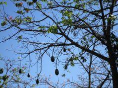 Detalhe de paineira (Ceiba speciosa) no inverno. A é incrível: tem flores lindas que atraem pássaros e MUITAS borboletas.  E ainda produz os frutos que estão na foto e que envolvem a paina, matéria prima para recheio de travesseiros!