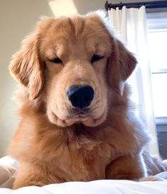This sweet puppy golden retriever will brighten your day. Dogs are awesome friends. Golden Retriever Training, Dogs Golden Retriever, Funny Golden Retrievers, English Golden Retrievers, Cute Baby Animals, Animals And Pets, Funny Animals, Cute Dogs And Puppies, I Love Dogs