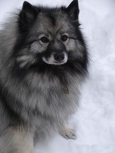 Meet the Breed: The Keeshond at BaxterBoo