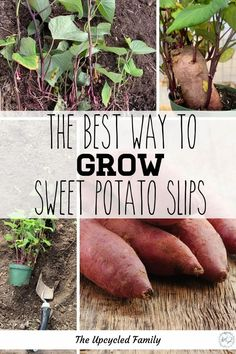 Do you like sweet potatoes, would you like to grow your own, and for much cheaper than traditional methods? The easy way to grow your own sweet potato slips and have a huge harvest of homegrown sweet potatoes! The faster, easier and cheaper way to grow sweet potatoes. #growingsweetpotatoes #vines #ingardens #easy #how #slips #tips #garden #sweetpotatoslipshowtogrow Sweet Potato Slips, Sweet Potato Plant, Sweet Potato Vines, Growing Sweet Potatoes, Purple Sweet Potatoes, Gardening For Beginners, Gardening Tips, Bucket Gardening, Sustainable Gardening