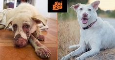 Wisdom was suffering from horrendous skin problems and was covered in gangrenous sores. A seriously infected wound on one of his paws was infested with maggots and he was unable to stand or walk on the leg. This is where people like YOU achieve miracles. Thanks to the Soi Dog supporters who have joined our Emergency Response Team, we were able to help Wisdom. https://ert.soidog.org/?utm_source=facebook&utm_medium=FBO_L_recurringWisdom&utm_campaign=ert