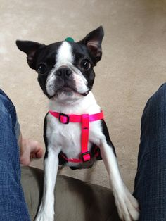 Pint-sized Boston Terrier puppy, the smallest of 3 sizes of Boston.  This is the size we always had until we got our sweet Molly who is the medium size. No matter the size, Boston Terriers have the sweetest personalities.