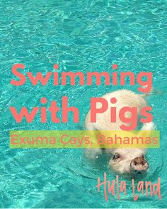 The most popular thing to do in the Exumas (Bahamas)...the swimming pigs!