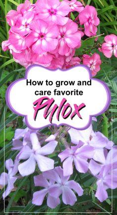 Flowers perennials - How to grow Garden Phlox – Flowers perennials Phlox Flowers, Flowers Perennials, Planting Flowers, Flower Gardening, Hardy Perennials, Phlox Perennial, Phlox Plant, Ground Cover Plants, Quartos
