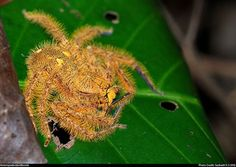 A spider named after David Bowie! <3
