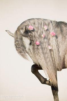 Andalusian stallion Carbonero de la Rosa XIV