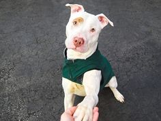 SAFE - 03/27/15! Manhattan Center - P  My name is JOHANN. My Animal ID # is A1030462. I am a male white and tan am pit bull ter mix. The shelter thinks I am about 1 YEAR 6 MONTHS old. For more information on adopting from the NYC AC&C, or to find a rescue to assist, please read the following: http://urgentpetsondeathrow.org/must-read/