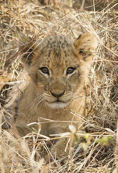 Cute Lion Cub Paul Renner Safaris.........Perfect Safari found..........not much better than this!!!
