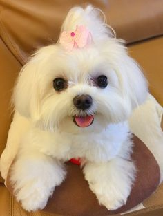 Tips And Tricks For Training Your Dog. Photo by Does your dogs behavior frustrate you? Teacup Maltese, Teacup Puppies, Maltese Dogs, Baby Puppies, Baby Dogs, Cute Puppies, Dogs And Puppies, Doggies, Cute Baby Animals