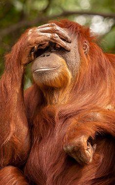 Orangutan with a problem.