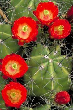 Se as rosas tem espinhos, porque os cactus não podem ter flores?