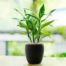 Image result for lucky bamboo window sill