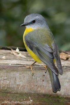 The Eastern Yellow Robin