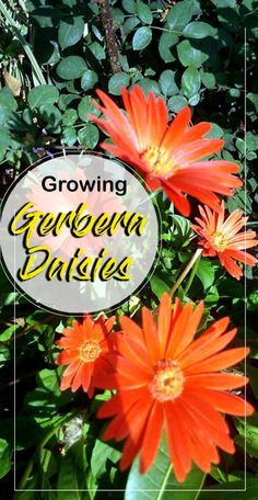 Growing Gerbera Daisies, How to grow Gerbera plants inside, Gerbera in containers, Pests, and diseases. It is most popular cut flowers and container plants. Gerbera Plant, Gerbera Jamesonii, Gerbera Daisies, Container Plants, Container Gardening, Gardening Tips, Flower Bouquet Wedding, Flower Bouquets, Bridal Bouquets