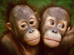 Young Bornean Orangutans Embracing, Pongo Pygmaeus, Sepilok Reserve, Sabah, Borneo Photographic Print by Frans Lanting - Animals Wild Life List Of Animals, Animals And Pets, Baby Animals, Cute Animals, Animals Planet, Funny Animals, Bornean Orangutan, Baby Orangutan, Primates