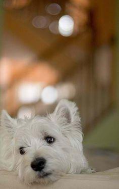 ORNATE GOLD PENDANT NECKLACE WEST HIGHLAND WHITE TERRIER DOG Westie
