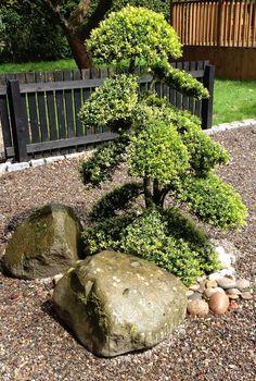 Cloud Pruned Ilex Crenata In Client Garden Anese Design Gardens Horticulture