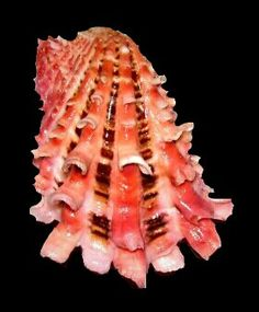 ~~family Carditidae~~Cardita is a genus of marine bivalve molluscs. Shells And Sand, Sea Shells, Conch Shells, Types Of Shells, Mindanao, Shell Collection, Snail Shell, Shell Art, Shell Crafts