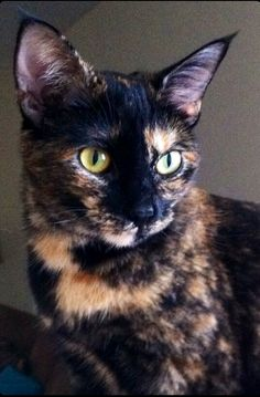 Tortie cats are so beautiful  #beautiful #cats   @sophieeleana
