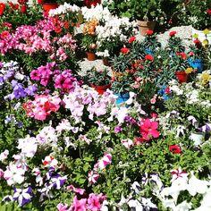 Flowers of Sanremo. Festival of Flowers. .MGD