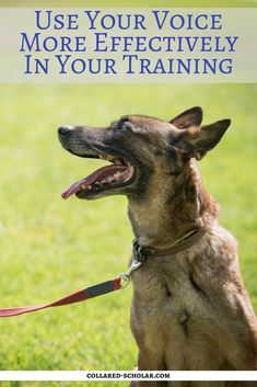 Are you just background noise? Using your voice more effectively in your training. http://www.collared-scholar.com/are-you-just-background-noise-using-your-voice-more-effectively-in-your-training/ #dogs #dogtraining #dogmanners #TheCollaredScholar