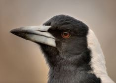 The Australian Magpie is black and white, but the plumage pattern varies across its range. Australian Birds, Magpie, Beautiful Birds, Painting Inspiration, Backyard, Animals, Draw, Photography, Patio