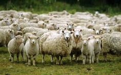 sheep are believed to possess the most powerful memories with some research showing them to be better than humans in certain situations. For example, they have the ability to identify when a fellow sheep is lost in their flock.  Moreover, they exhibit a wide range of emotions and response to various things going on around them which also shows a high level of intelligence.