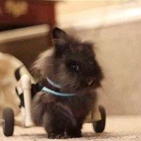 Lily the Lionhead Bunny