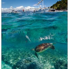 Philippines. Apo island. Diving with sea turtles.