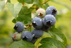 Ripe blueberries on bush ready to pick - Rosemary Calvert/Photographer's Choice RF/Getty Images Growing Blueberries, Organic Blueberries, Blueberry Plant, Blueberry Bushes, Types Of Christmas Trees, Organic Insecticide, Fruit Garden, Herbs Garden, Flower Gardening