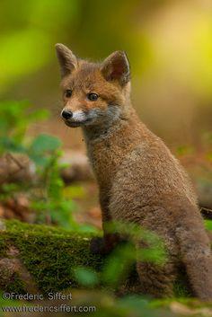 Red Fox Cub by Frederic Siffert