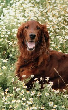 Great minds: Someone else took a photo of an Irish setter in flowers (I took Castro's photo in a bed of wild poppies, gotta find the photo) ....
