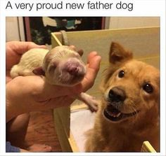 A very proud new father dog Funny Dog Memes, Funny Dog Videos, Cat Memes, Funny Dogs, Memes Humour, Cats Humor, Funny Kitties, Funny Horses, Animals