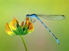 Dragon flies are so beautifully stunning.