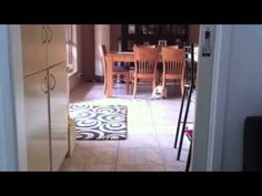 Ragdoll Cat playing fetch