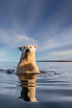 So Close, a Polar Bear, Alaska, by Kyriakos Kaziras thewildanimalstore.com