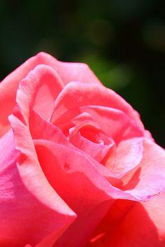 Rose on Flickr.