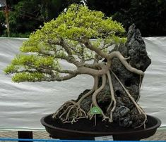 ficcus bonsai