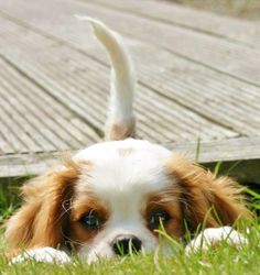 Cavalier King Charles Spaniel So excited! Getting one of my own!