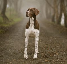 The English Pointer. The history of the Pointer, like many breeds, is a reasonably debatable topic with records in England tracing as far back as 1650. Developed as a gun dog, at least 4 breeds appear to have been instrumental in the Pointer's creation: Greyhounds, Foxhounds, Bloodhounds, & Bull Terriers. Each of these with unique qualities the Pointer could use to do its job. Even-tempered, congenial dogs, they're happiest living indoors as part of the family, & are affectionate & loyal.