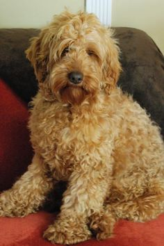 Gallery For > Apricot Labradoodle