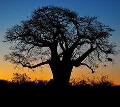 Baobab tree at sunset in the Pafuri area. http://www.kruger-2-kalahari.com #NaturePhotography #Africa #Photographic #Travel #WildlifePhotography #PhotoSafari #Kruger2Kalahari #AfriTravel #eBooks #Wildlife #nikon #iamnikonsa #nikonwildlife #sigmaphoto_sa #knp #KrugerPark #krugernationalpark #pafuri #pafuriwalkingtrails #makuleke #baobabtree #sunset
