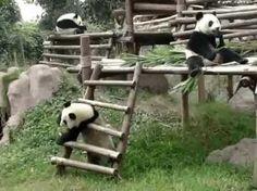 Go home panda, you're drunk.
