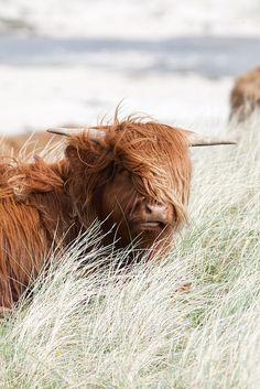 Sanna Bay, Ardnamurchan - 8 | Highland cattle | Flickr - Photo Sharing!
