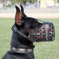 doberman with unique collar | ... Muzzle] : Doberman dog harness, Doberman dog muzzle, Doberman dog