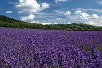 Lavender Liqueurs - 4 different recipes