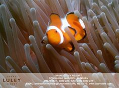 Anemone Fish is always adorable Manado, Marine Life, Underwater, Fish, Under The Water, Pisces