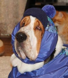 unimpressed bundled-up basset hound ♡... Re-pin by StoneArtUSA.com ~ affordable custom pet memorials for everyone.