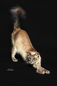 javaennse cats | Javanese Cat | Pictures of Cats