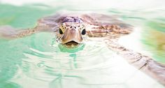 Turtle Selfie by Christian Miller on Green Turtle, Turtle Love, Amphibians, Mammals, Reptiles, Sea Turtle Wallpaper, Photos Sous-marines, Pets 3, Sea Creatures